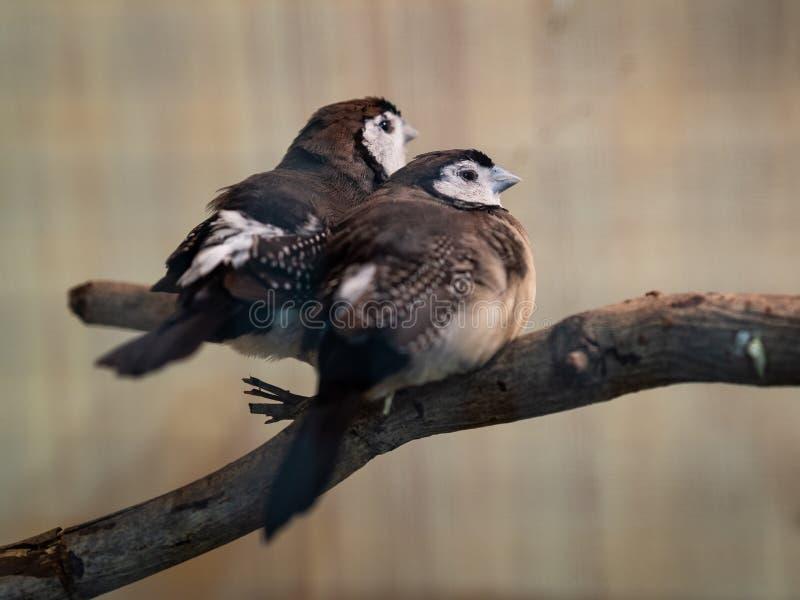 Dois pássaros que sentam-se no ramo de árvore Animal, pássaro, amor, conceito de família fotografia de stock