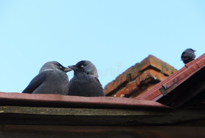 Dois pássaros sentam no telhado e tocam seus bicos fotografia de stock