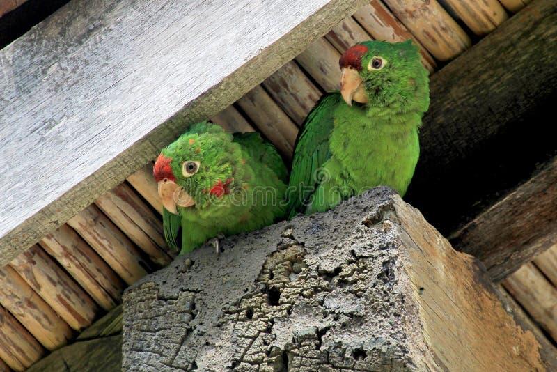 Dois pássaros verdes que sentam-se sob um housetop, vale dos papagaios do lorikeet de Orosi, Costa Rica imagem de stock