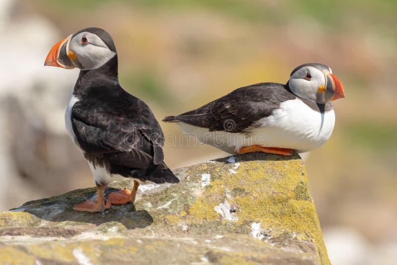 Dois papagaio-do-mar em uma rocha de volta à parte traseira foto de stock royalty free