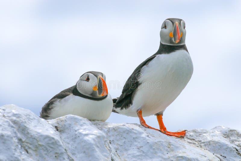 Dois papagaio-do-mar sentados em uma parede imagens de stock royalty free