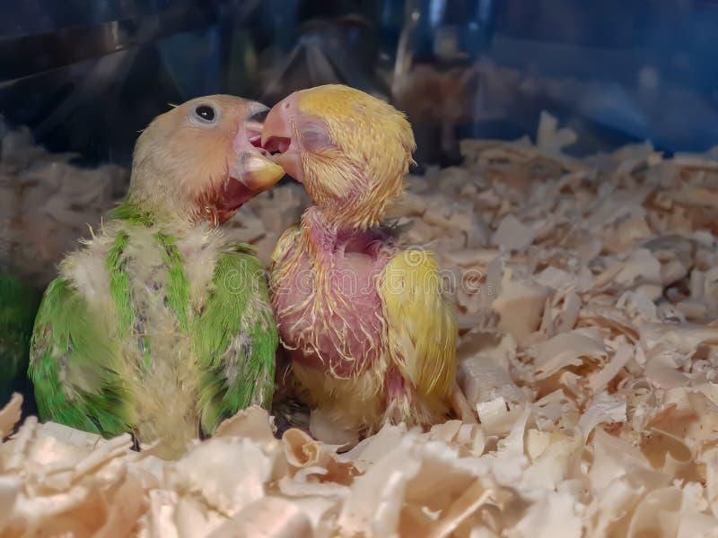 Dois papagaios do bebê que apreciam cada outro empresa foto de stock royalty free