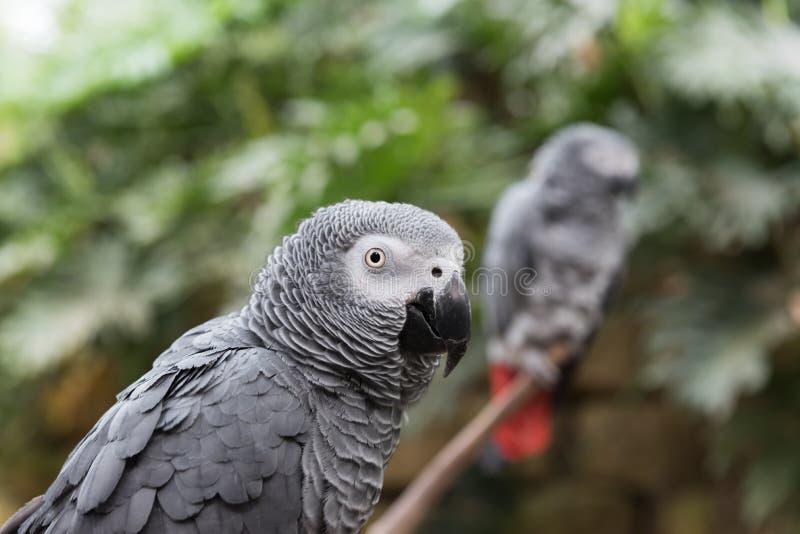 Dois papagaios do cinza africano no ramo, um fim acima do tiro principal foto de stock royalty free