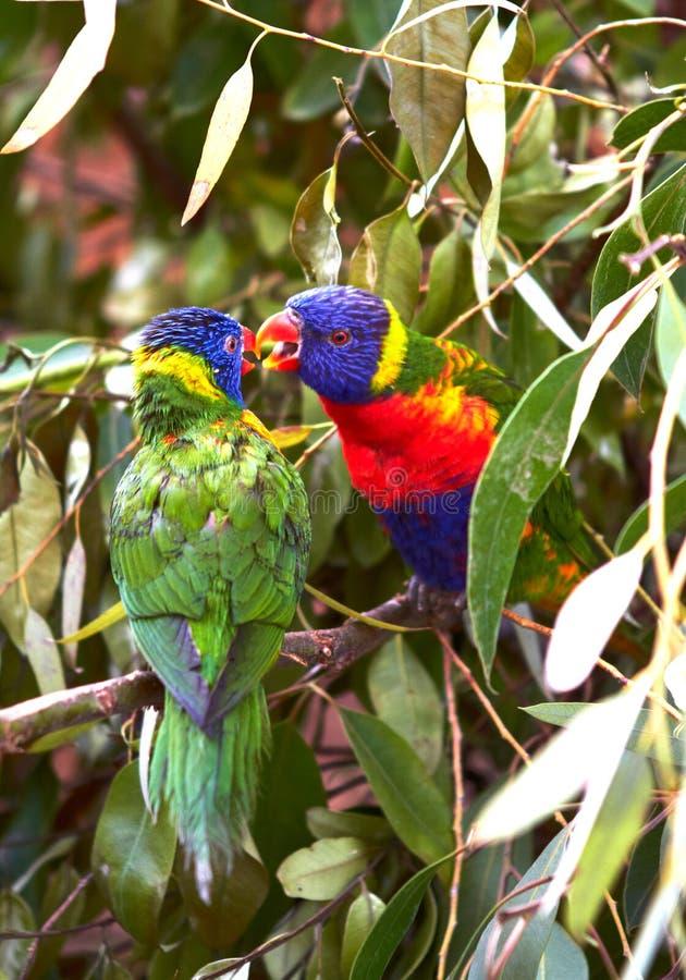 Dois papagaios multi-coloridos sentam-se em um ramo e em um beijo foto de stock