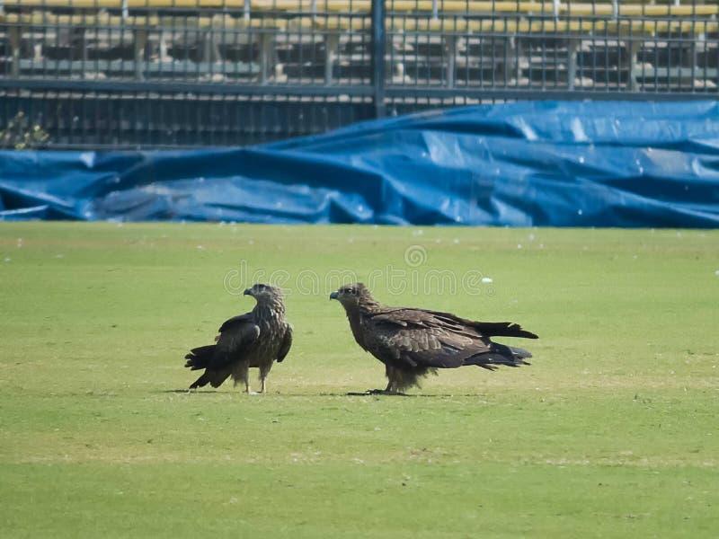 Dois papagaios pretos na parte exterior do campo verde fotografia de stock royalty free