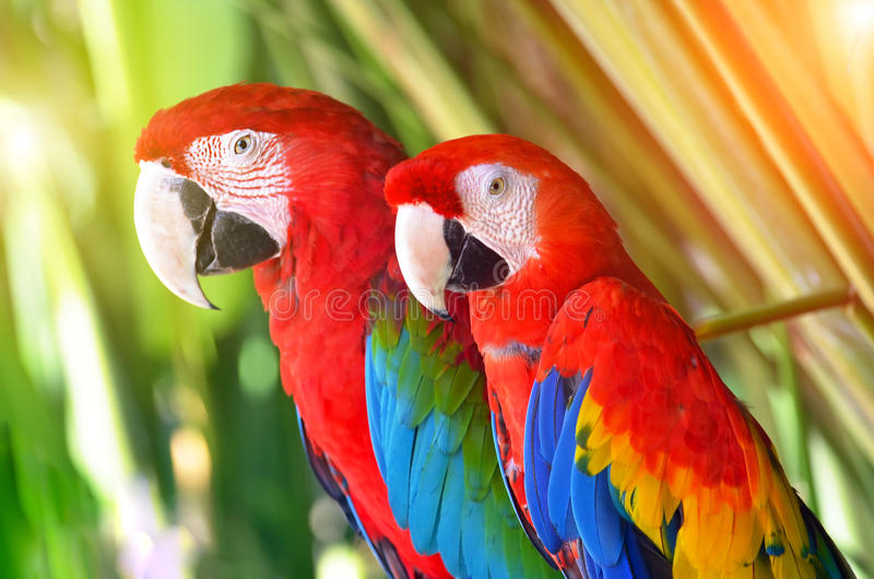 Dois papagaios vermelhos em pássaros tropicais da floresta fotos de stock royalty free
