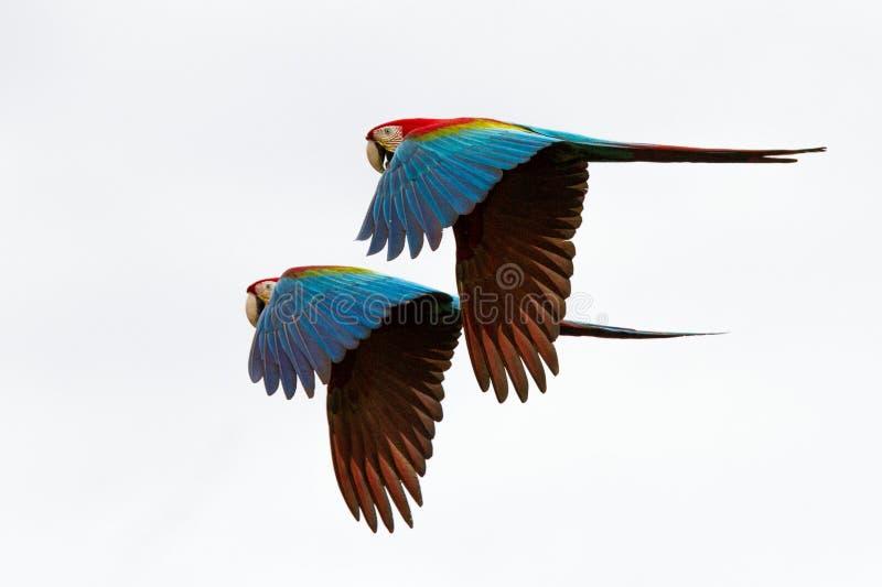 Dois papagaios vermelhos em voo Voo da arara, fundo branco, arara isolada dos pássaros, a vermelha e a verde na floresta tropical foto de stock