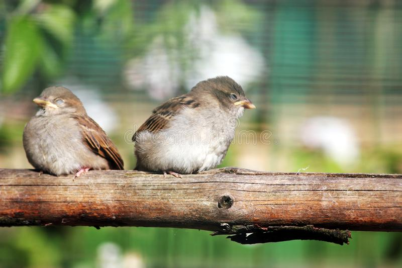 Dois pardais felizes sentam-se na vara, macro imagem de stock royalty free