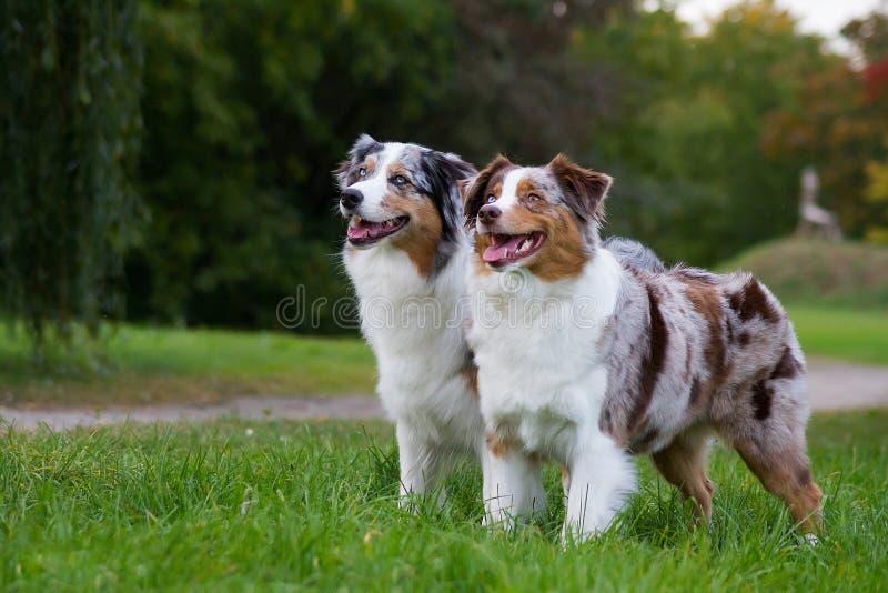 Dois pastores australianos fotos de stock