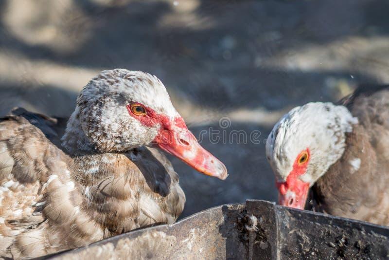 Dois patos com narizes e os olhos vermelhos fotografia de stock royalty free