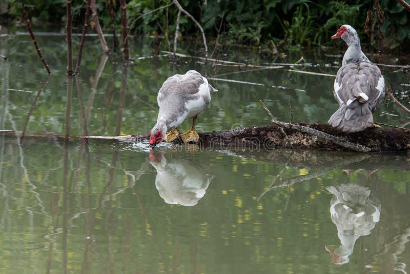 Dois patos de Muscovy imagem de stock
