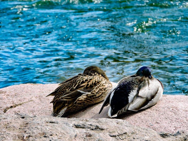 Dois patos de uma lagoa foto de stock