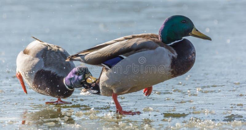 Dois patos do pato selvagem em um lago congelado no corte fotografia de stock