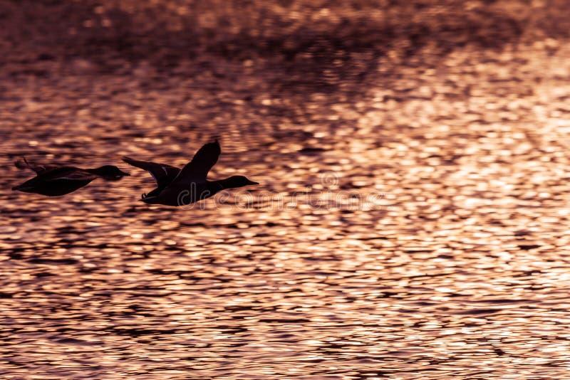 Dois patos do pato selvagem que voam acima do lago no por do sol imagens de stock royalty free
