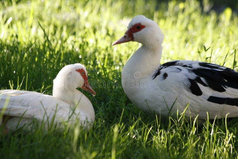 Dois patos domésticos assentados na grama verde no dia de verão ensolarado fotografia de stock royalty free