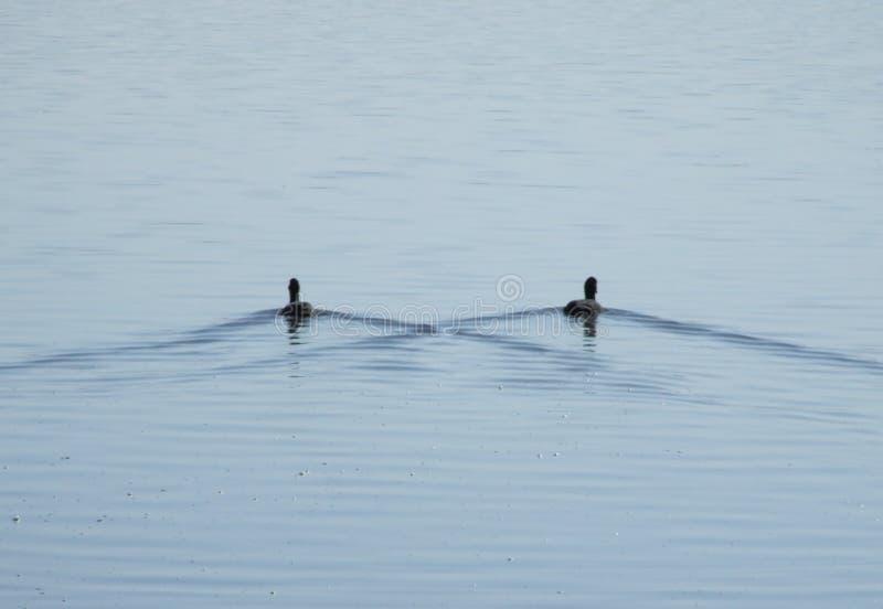 Dois patos flutuam na água na simetria perfeita imagens de stock