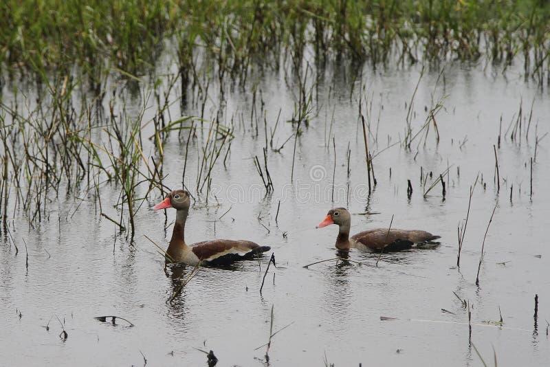 Dois patos na lagoa fotografia de stock royalty free