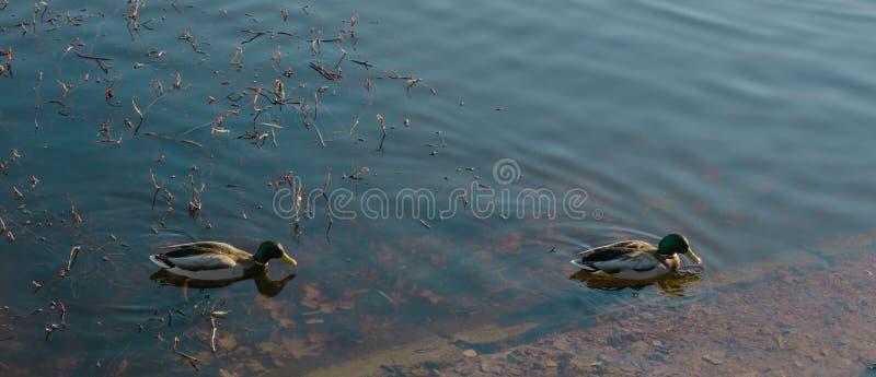 Dois patos nadam na lagoa no tempo do outono lago com um pato fotos de stock