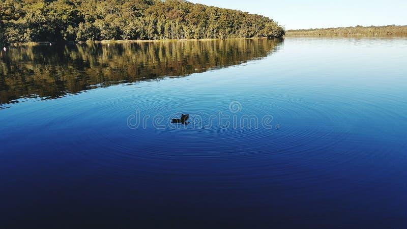 Dois patos nas ondinhas da água fotografia de stock