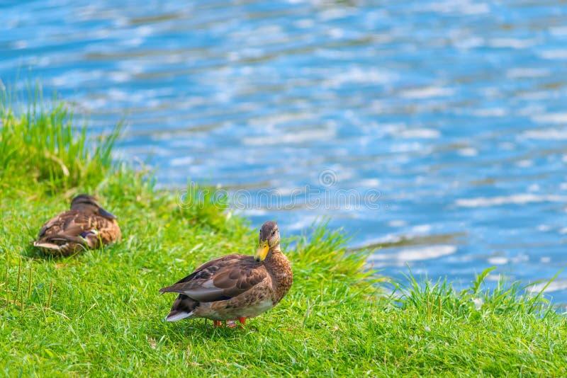 Dois patos que descansam pelo lago em um gramado imagens de stock royalty free
