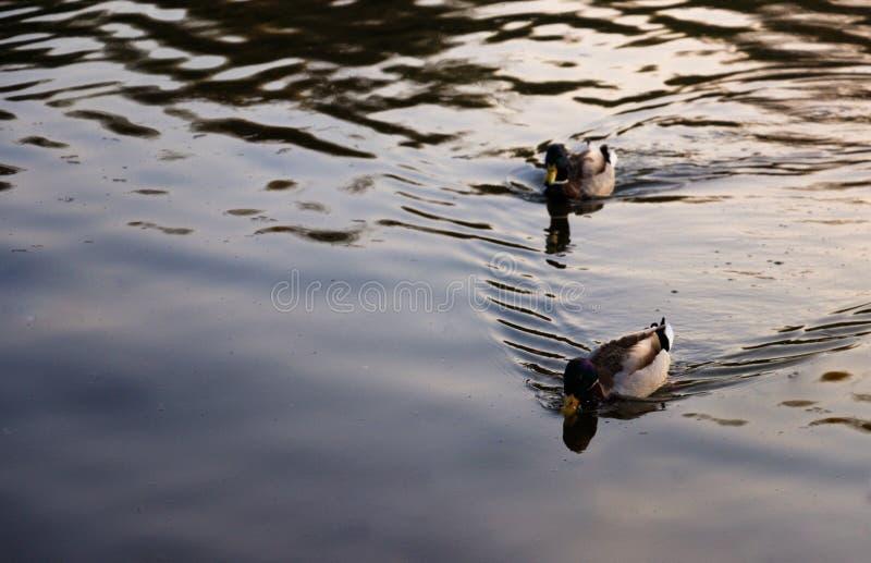 Dois patos selvagens que flutuam no lago foto de stock