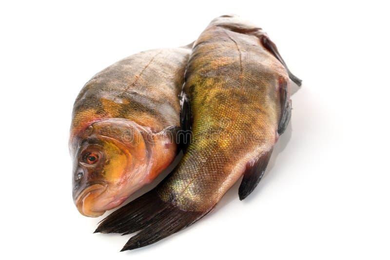 Dois peixes crus frescos em um fundo branco imagens de stock