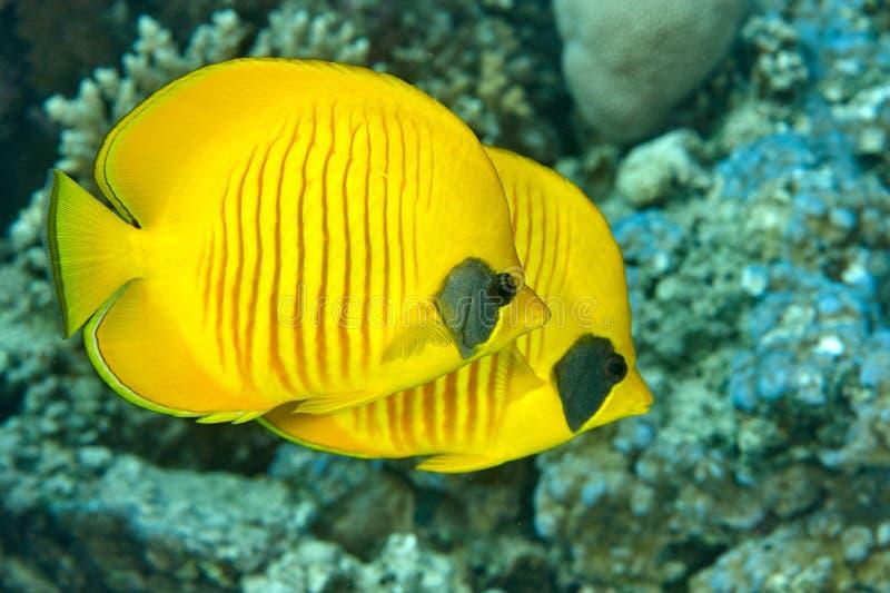 Dois peixes da borboleta nadam perto dos corais fotos de stock royalty free