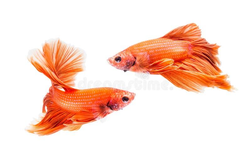 Dois peixes de combate siamese isolados no fundo branco, arquivo contêm um trajeto de grampeamento Peixes de Betta fotos de stock royalty free
