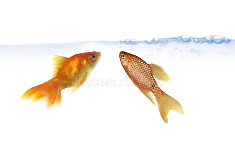 Download Dois peixes do ouro foto de stock. Imagem de bolha, simples - 12803926
