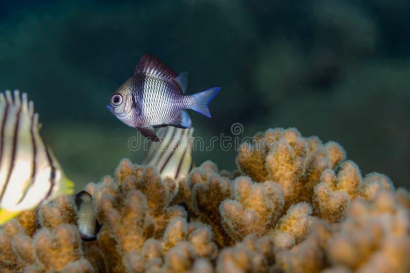 Dois peixes do reticulatus de Dascyllus do Damselfish da listra imagens de stock royalty free