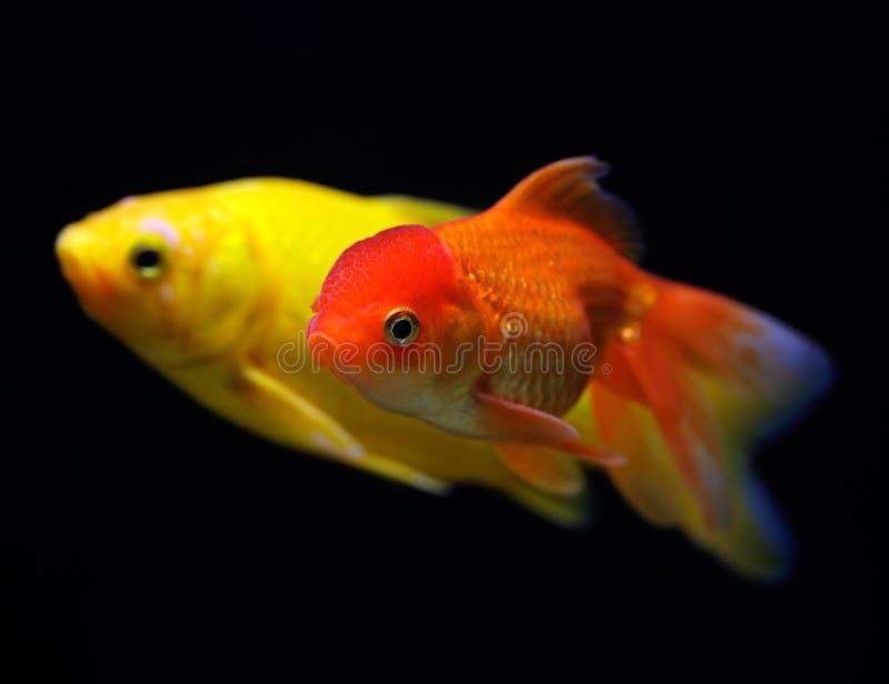 Dois peixes dourados (auratus do auratus do Carassius) fotos de stock