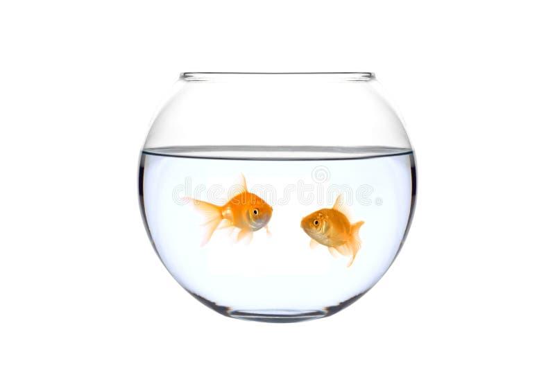 Dois peixes dourados em uma bacia fotos de stock