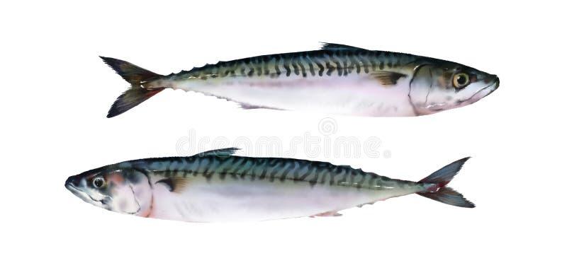 Dois peixes frescos da aquarela no fundo branco ilustração do vetor