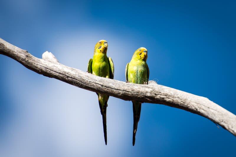 Dois periquitos australianos selvagens em Austrália central fotografia de stock