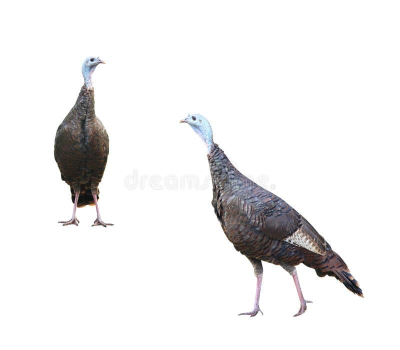 Dois perus selvagens