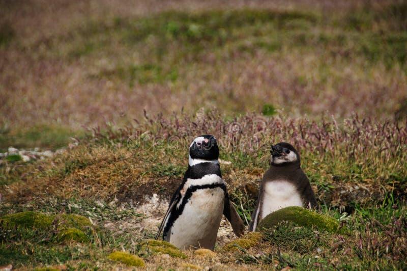 Dois pinguins de Magellanic na ilha da carcaça imagens de stock
