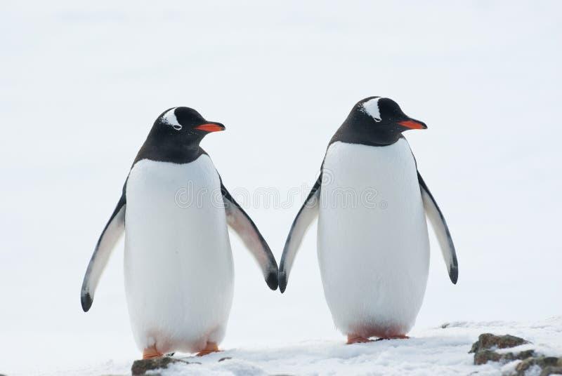 Dois pinguins Gentoo. fotos de stock