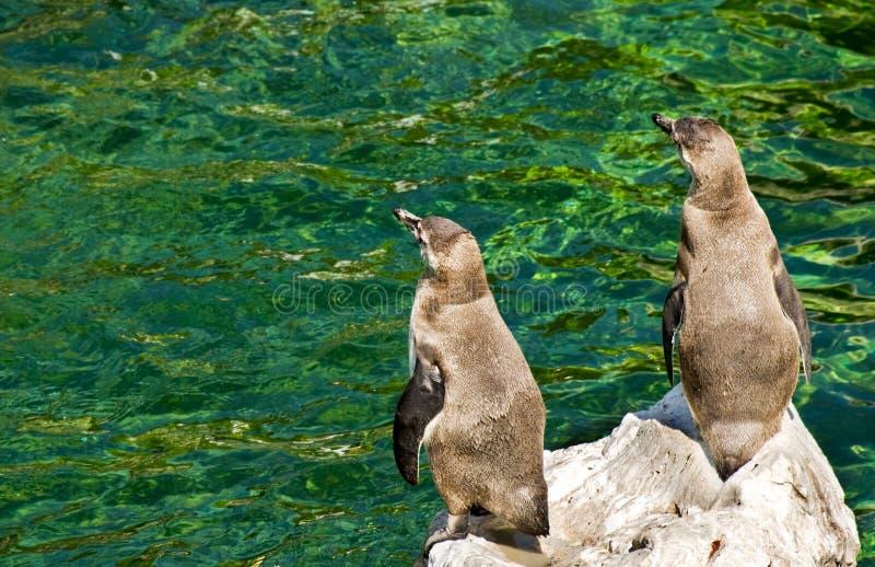 Dois pinguins que olham de lado foto de stock royalty free