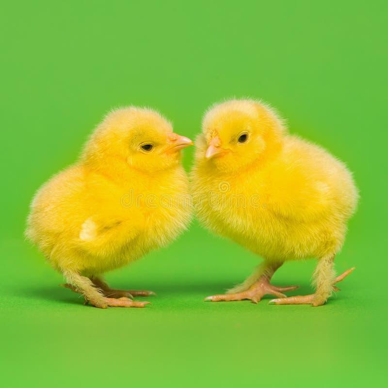 Dois pintainhos amarelos bonitos do bebê fotografia de stock royalty free