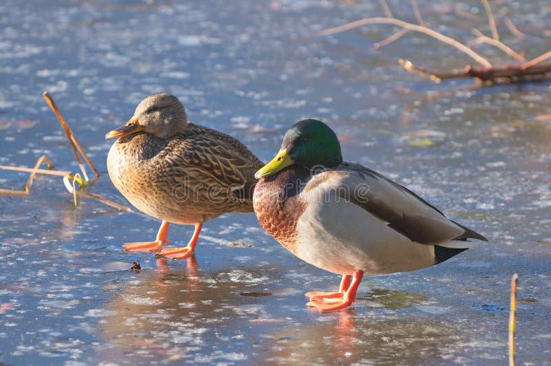 Dois platyrhynchos dos Anas dos patos do pato selvagem em sua lagoa congelada imagens de stock