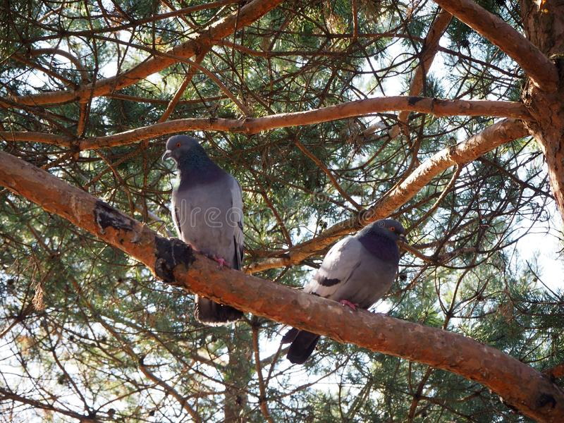 Dois pombos est?o sentando-se em um ramo de ?rvore imagem de stock royalty free