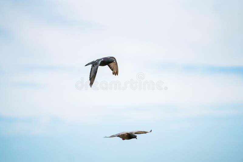 Dois pombos que voam no céu imagem de stock royalty free
