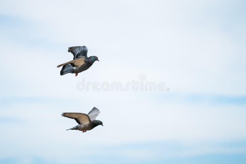 Dois pombos que voam no céu foto de stock