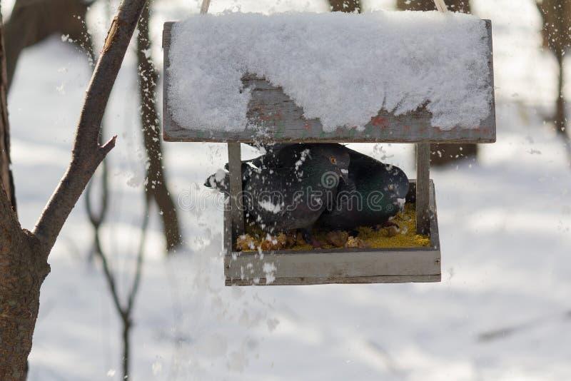 Dois pombos são comidos em uma calha em um parque do inverno imagens de stock