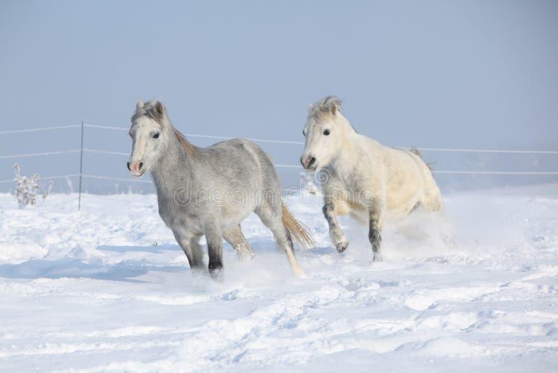 Dois ponnies lindos que correm junto no inverno imagens de stock