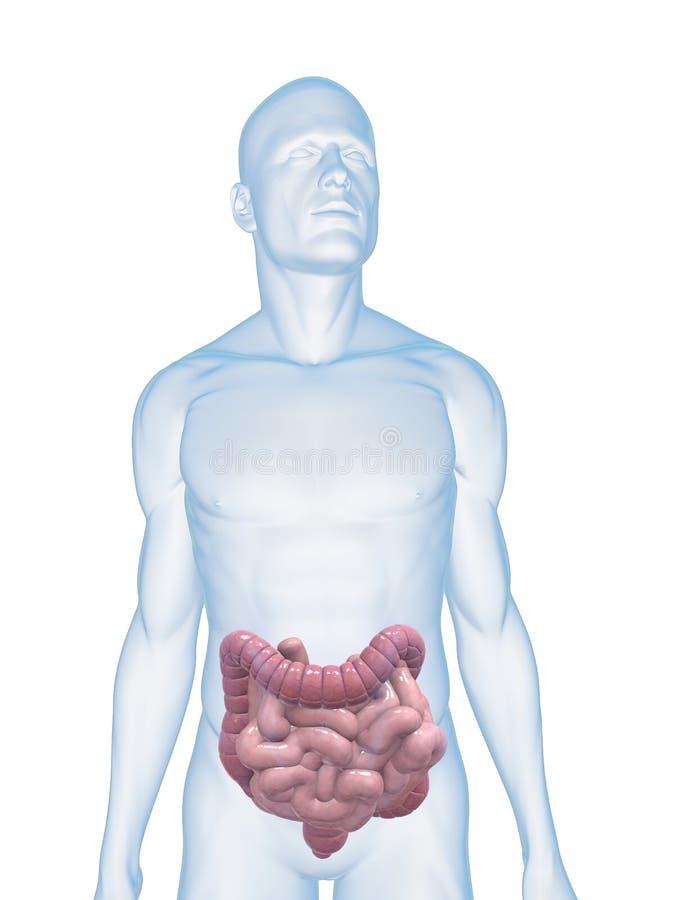 Dois pontos e intestinos humanos ilustração royalty free