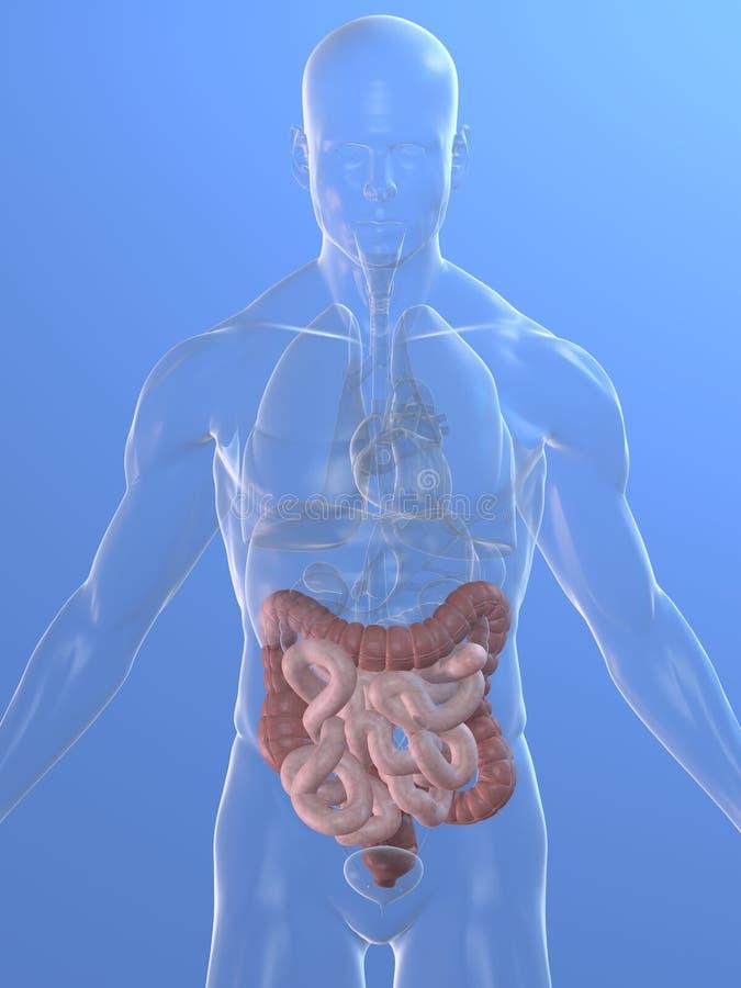Dois pontos e intestinos humanos ilustração stock