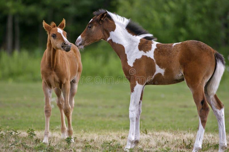 Dois potros do cavalo imagens de stock royalty free