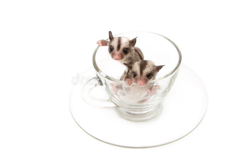 Dois pouco joey no copo de chá imagens de stock royalty free