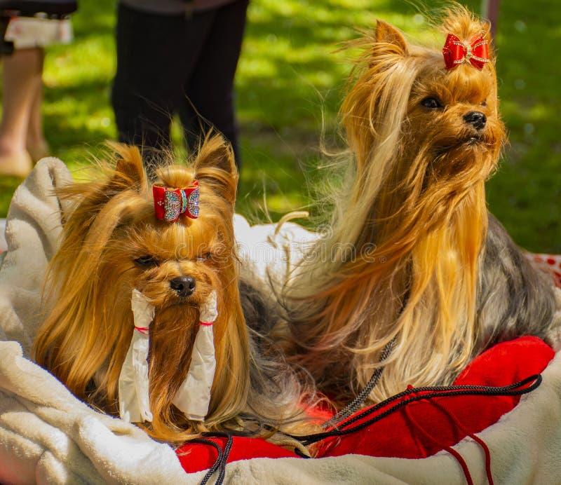 Dois poucos cães no descanso imagens de stock royalty free